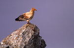 Joint actions to reverse the fate of the Egyptian vulture