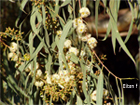 Effects of Eucalyptus plantations in stream ecosystems