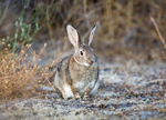 Fecal nitrogen in European rabbit ecological studies