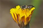 Delivery of crop pollination services is an insufficient argument for wild pollinator conservation
