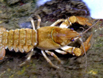 The native crayfish is a non-native species