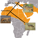 African and Eurasian golden jackals are distinct species