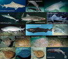 The ecological role of uncommon and endangered elasmobranch