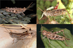 Genetic and phenotypic differentiation in five grasshopper species codistributed across a microreserve network