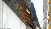 Why do kestrels soar?
