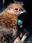 The biochemical basis of the sexual ornaments of the red grouse unravels their informative content