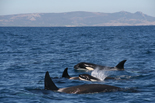 The killer whales of the Strait of Gibraltar are different
