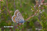Effect of habitat quality on flying patterns of the butterfly Plebejus argus