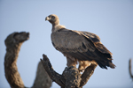Potential threat to Eurasian griffon vultures in Spain from veterinary use of the drug diclofenac