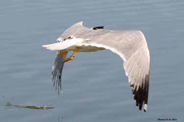 Feathered Detectives: Real-Time GPS Tracking of Scavenging Gulls Pinpoints Illegal Waste Dumping