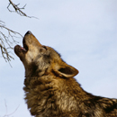 Ancient intercontinental dispersals of grey wolves according to mitochondrial genomes