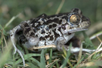 Early amphibian breeders coping with acidification