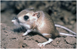 Lack of evolution of sexual size dimorphism in Heteromyidae (Rodentia)