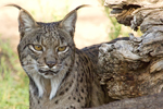 Extreme genomic erosion in the highly endangered Iberian lynx