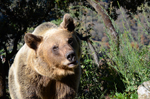 Consequences of brown bear viewing tourism: A review