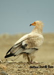 Survival and breeding success in Egyptian vulture